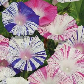 Ipomoea pur. Carnevale