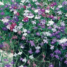 Lobelia e.p. Colour