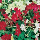 Nicotiana san. Roulette