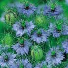 Nigella dam. blauw