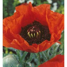 Papaver or. Brilliant