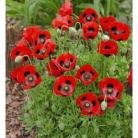 Papaver commutatum Lady Bird