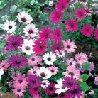 Osteospermum mix
