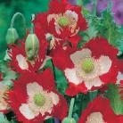 Papaver som. Victoria Cross