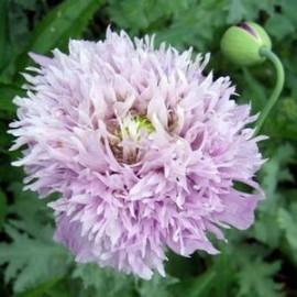 Papaver som. Lilac