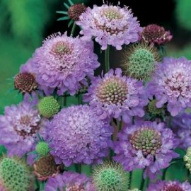 Scabiosa atro. Blue Cushion