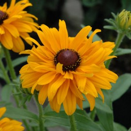Rudbeckia h. Goldilocks