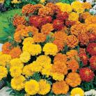 Tagetes erecta mix