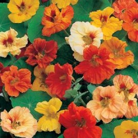 Tropaeolum m. Jewel mix