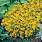 Tagetes t. Golden Gem
