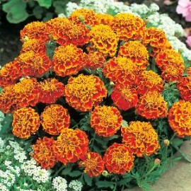 Tagetes p.n. Honeycomb