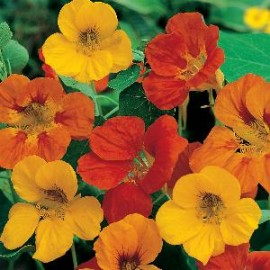 Tropaeolum m. Tom Thumb