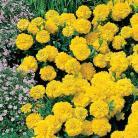 Tagetes p.n. Yellow Jacket