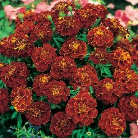 Tagetes p.n. Red Cherry