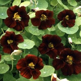 Tropaeolum m. Black Velvet