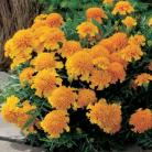 Tagetes p.n. Chasca