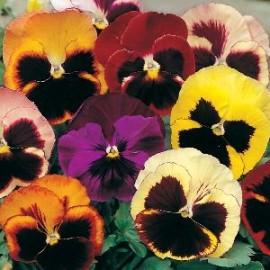 Viola x w Zw. Reuzen mix