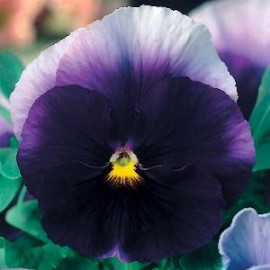 Viola x w Beaconsfield