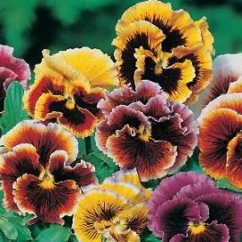 Viola x w Frou Frou