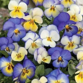 Viola x w Cool Summer Breeze