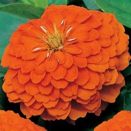 Zinnia el. Orange King