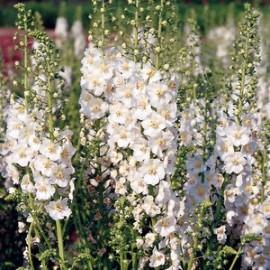 Verbascum phoen. White