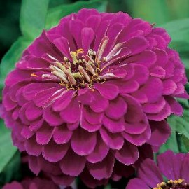 Zinnia el. Purple