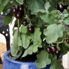 Aubergine patio Pot Black