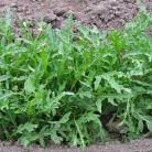 Salade Rucola Wild