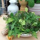 Salade mix  Suffolk Punch