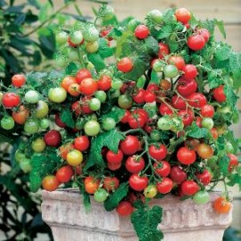Tomaten Pot Maskotka
