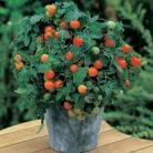 Tomaten Pot Garden Pearl