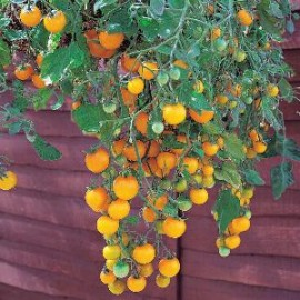 Tomaten Pot Tumbling Yellow