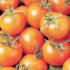 Tomaten Cherry Sungold F1