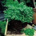 Koriander Cilantro Organic