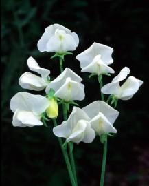 Lathyrus o. grandiflorus Dorothy