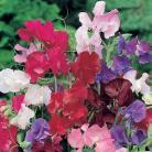 Lathyrus o. Bouquet