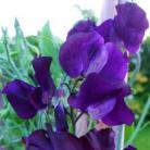 Lathyrus o. Blue Velvet