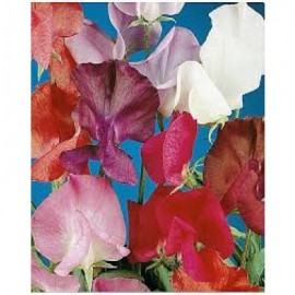Lathyrus o. Colorama