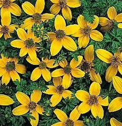 Bidens humillis Golden Eye