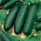 Komkommer Marketmore 70 Organic