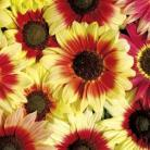 Helianthus a. Magic Roundabout