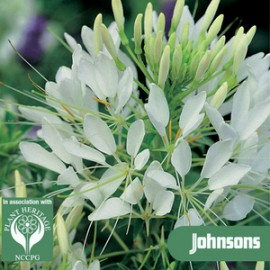 Cleome has. Helen                  WB