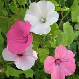 Malope grandiflora Mix