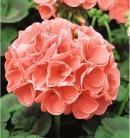 Pelargonium Cherie Zalm-Rose