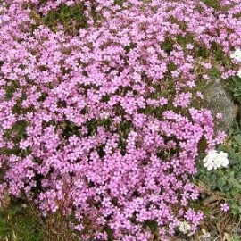 Gypsophila repens rose