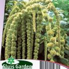 Amaranthus caudatus Green Cascade