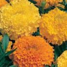 Tagetes p.n. Double mix