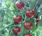 Tomaten Sunchocola F1