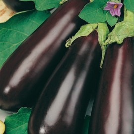 Aubergine Early Long Purple